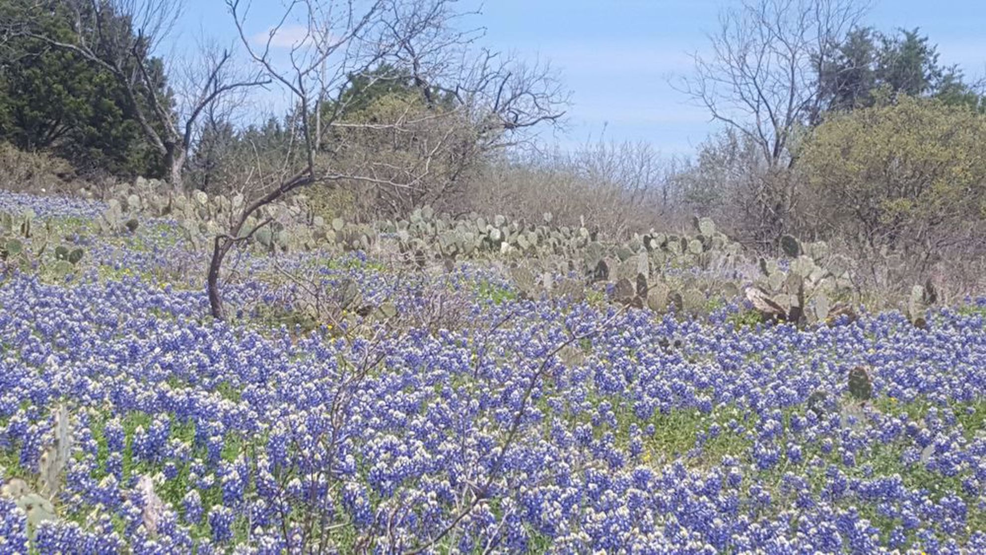 Bluebonnets and cacti in Texas