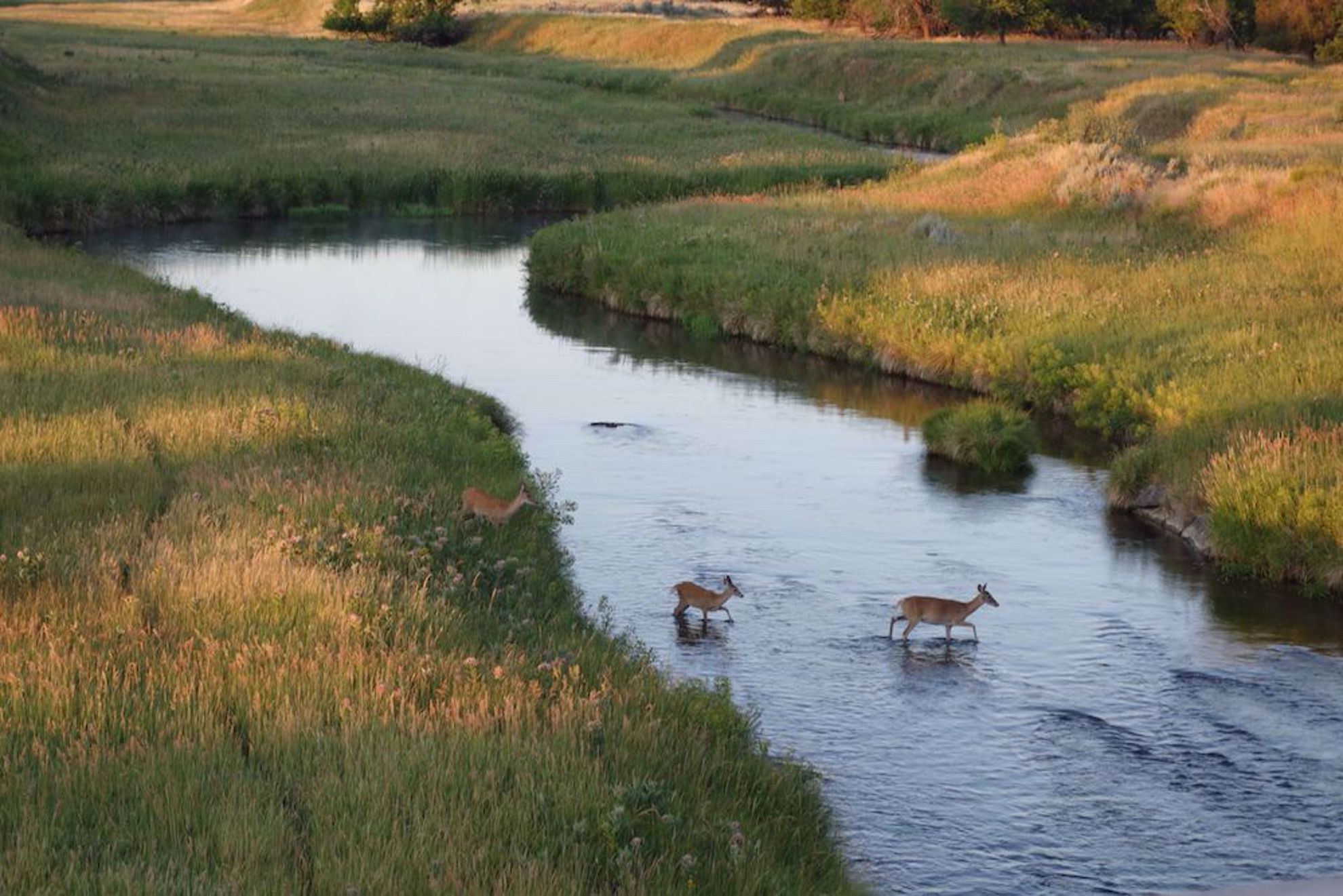 Deer cross river South Dakota