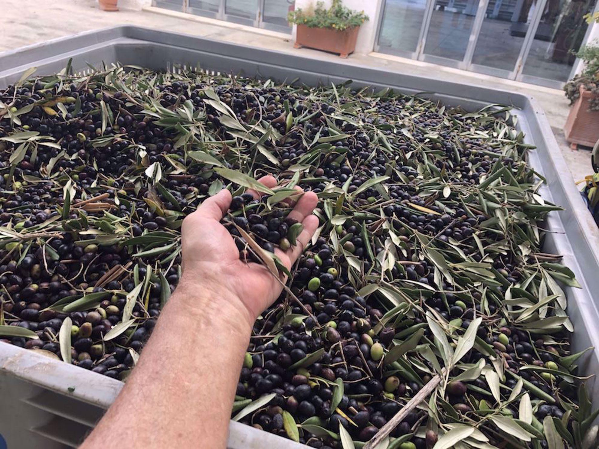 Olive harvest Puglia