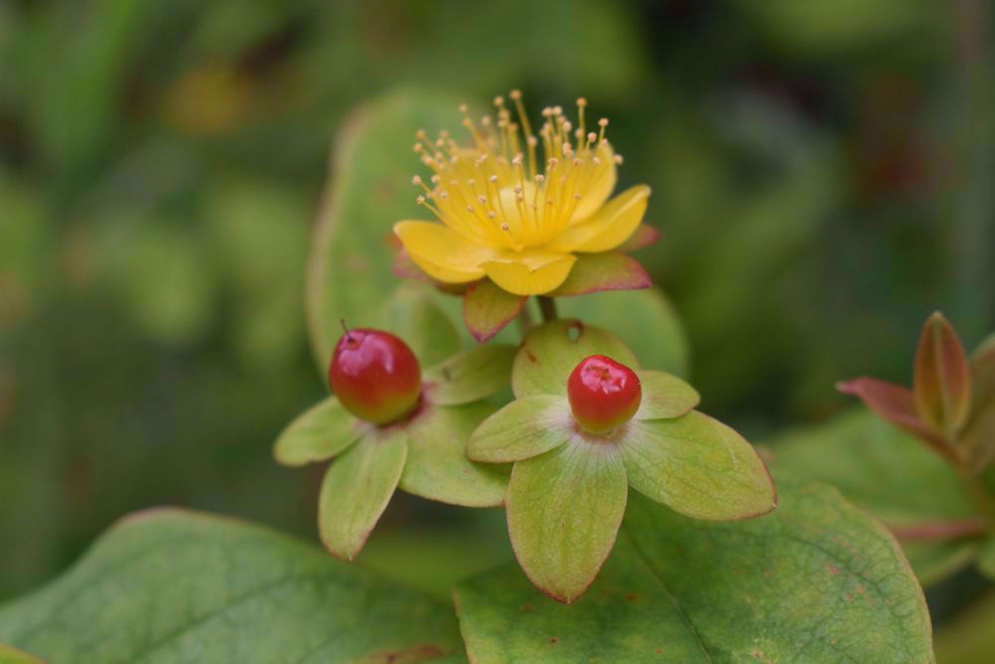 Wildflower and berries near Pucon Chile