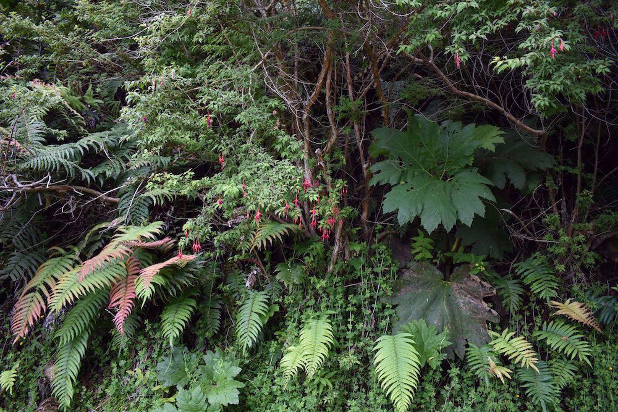 Leafy forest near Lago Ranco, Chile
