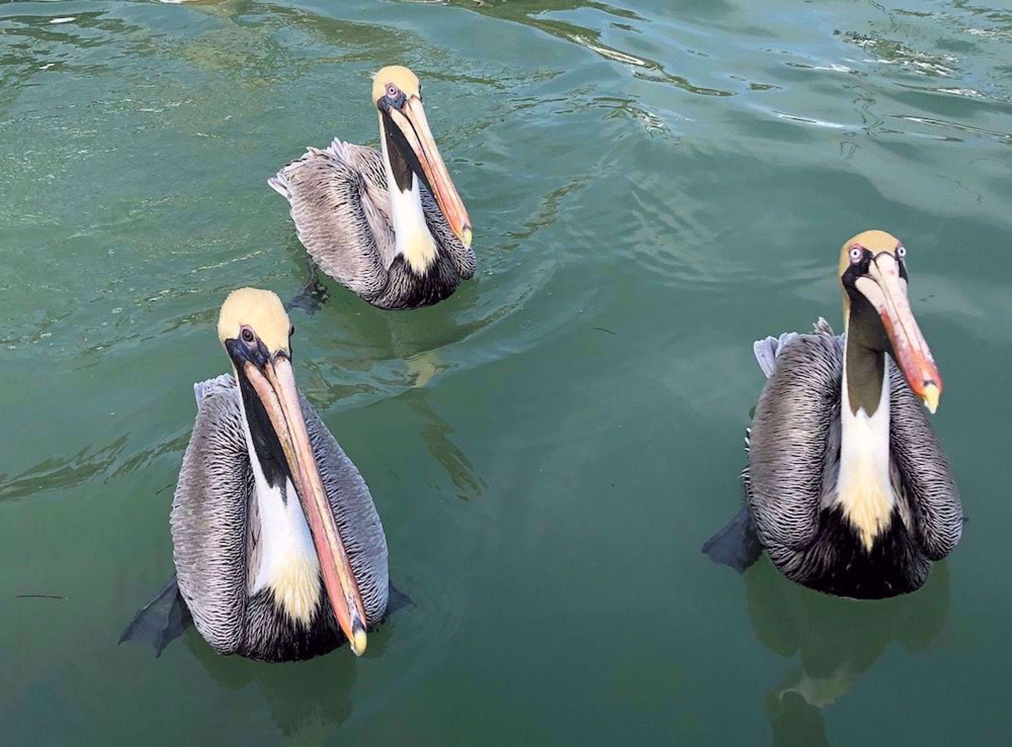 brown pelicans near Robbie's