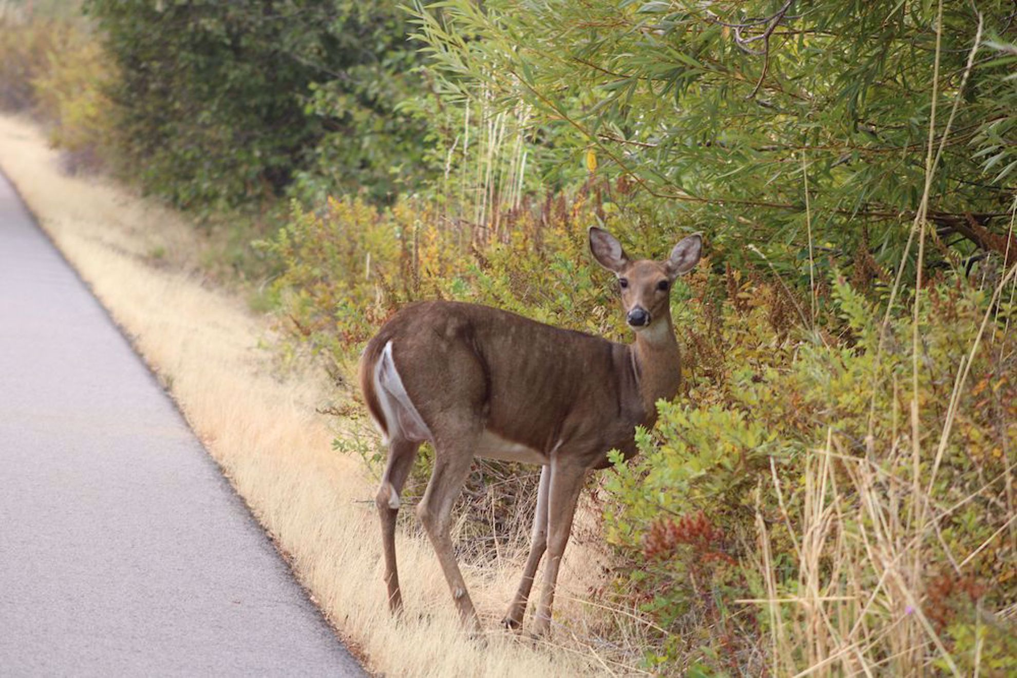 Deer by the trail