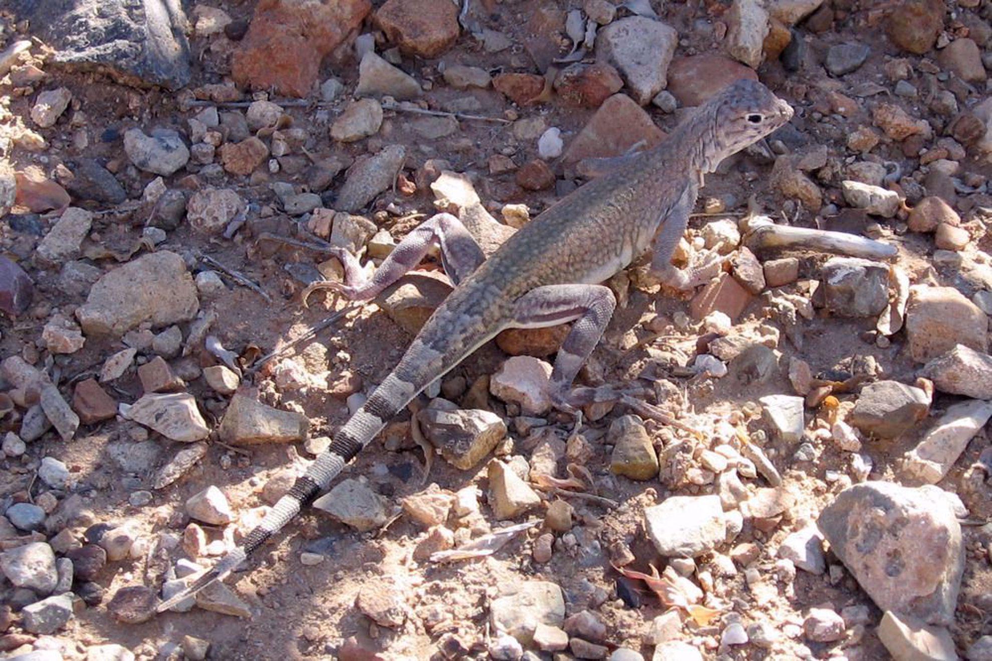 zebra-tailed lizard NPS