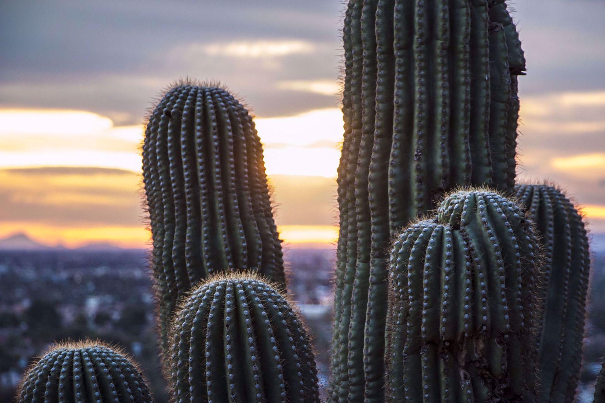 Saguaro cacti at dawn