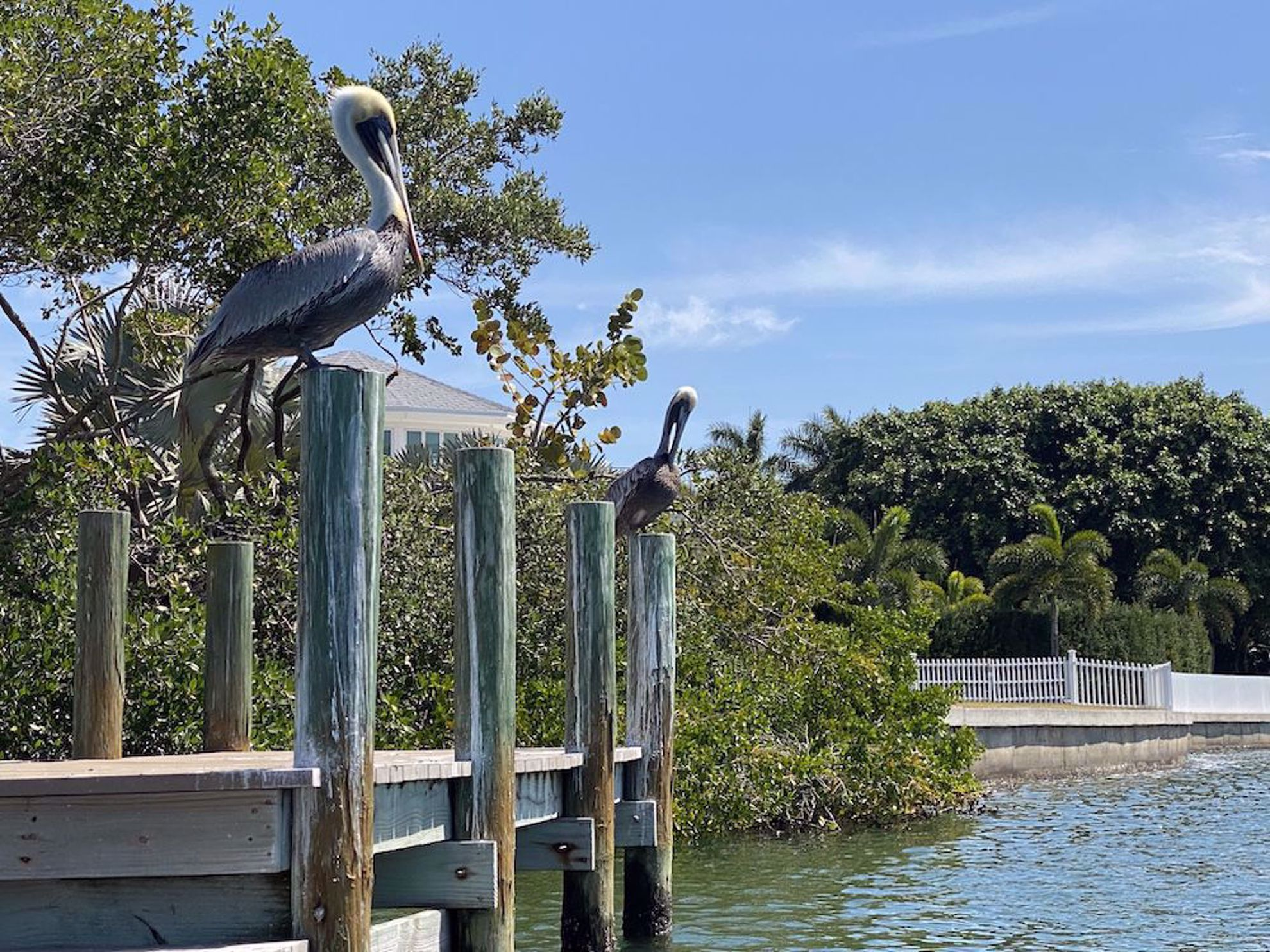 Pelicans along the water